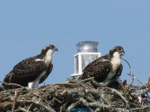 "Osprey nest on the ""Chick"""
