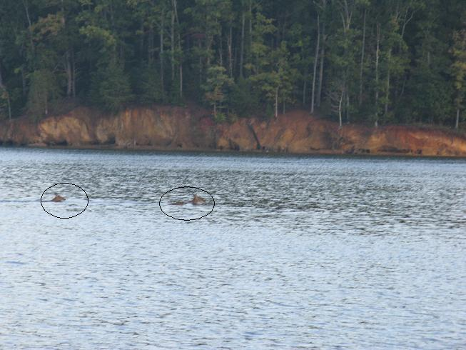 Deer swimming across Harrison Bay in 35 ft. of water one morning 10-18-12